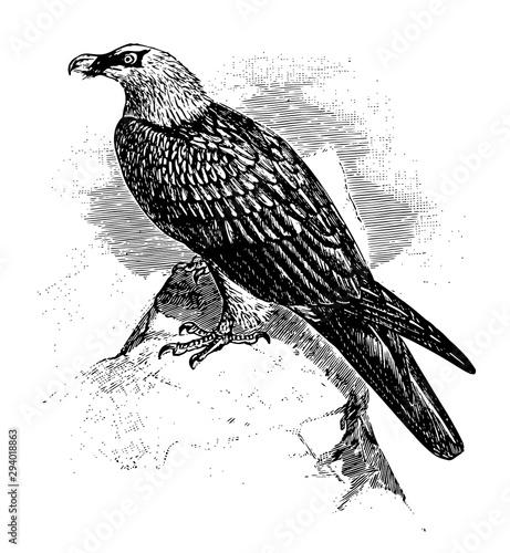 Bearded Vulture, vintage illustration. Wallpaper Mural
