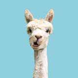 Fototapeta Zwierzęta - Funny white alpaca on blue background
