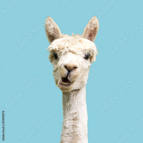 Funny white alpaca on blue background