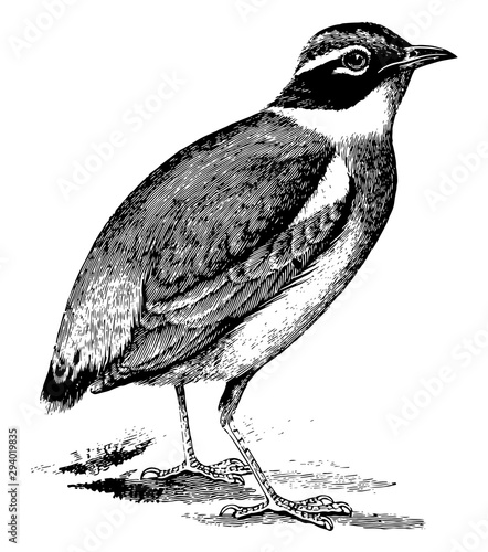 Indian Pitta, vintage illustration. Tapéta, Fotótapéta