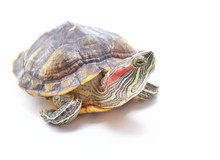 Red-eared Turtle, Trachemys Sc...