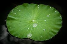 Lotus Leaf In A Pond, Kampong ...