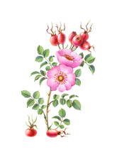 Sweetbriar Rose Hips & Flowers...