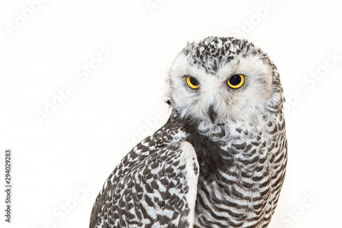 Spoed Fotobehang Uil Portrait of the Snowy Owl, Bubo scandiacus. Close Up