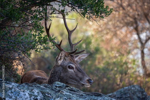 plakat Deer are the ruminant mammals forming the family Cervidae. Monfrague National Park. Spain.