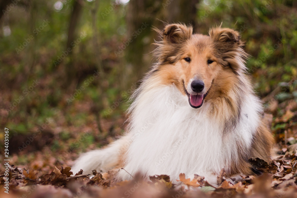 Fototapeta Gold rough collie lying at autumn forest, calm and relaxed