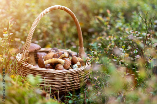 Fotografie, Obraz Picking mushrooms in the woods