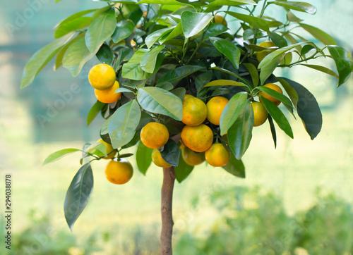 Fotomural  calamondin tree with ripe calamondin fruit