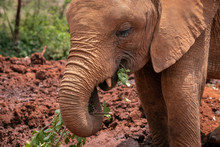 Close-up Of A Baby Elephant Co...