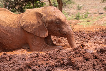 Baby Elephant Rolling In Red Colored Mud