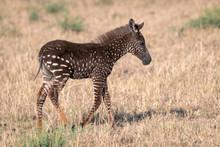 Rare Zebra Foal With Polka Dot...