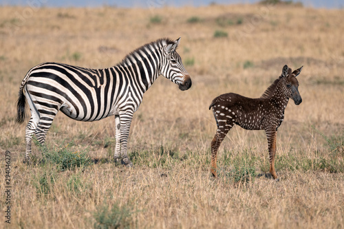 Aluminium Prints Zebra Rare zebra foal with polka dots (spots) instead of stripes, named Tira after the guide who first saw her, with her mother. Image taken in the Maasai Mara National Park in Kenya.