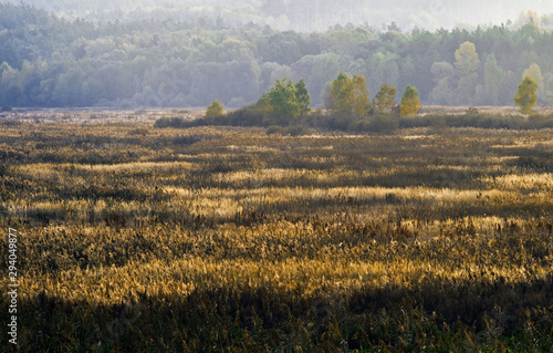 The marshland, overgrown with reeds against the background of the forest Slika na platnu