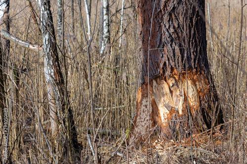 drzewo podgryzionie przez bobry - 294050889