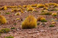 High Altitude Shrubs. Landscape Of Mountains In The High Lands Of Chile Near The Border With Bolivia