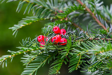 A Green Branch With The Red Berries Of European Yew Or Taxus Baccata Tree