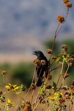Blackbird On Sunflowers