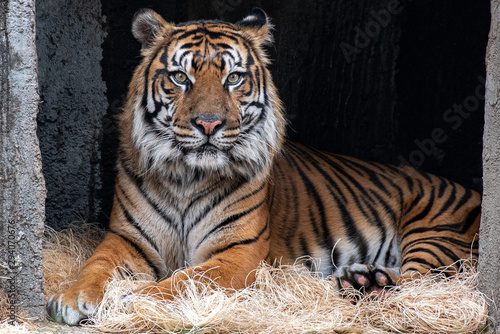 Majestic Tiger Portrait Wallpaper Mural