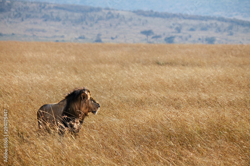 Beautiful and Strong Looking Wild East African Lion - Scientific name: Panthera Canvas Print