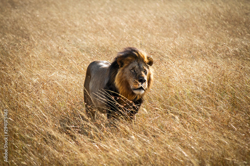 Beautiful and Strong Looking Wild East African Lion - Scientific name: Panthera Wallpaper Mural