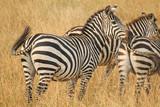 Herd of Plains Zebra - Equus quagga - in Kenya's Masaai Mara Game Reserve.jpg