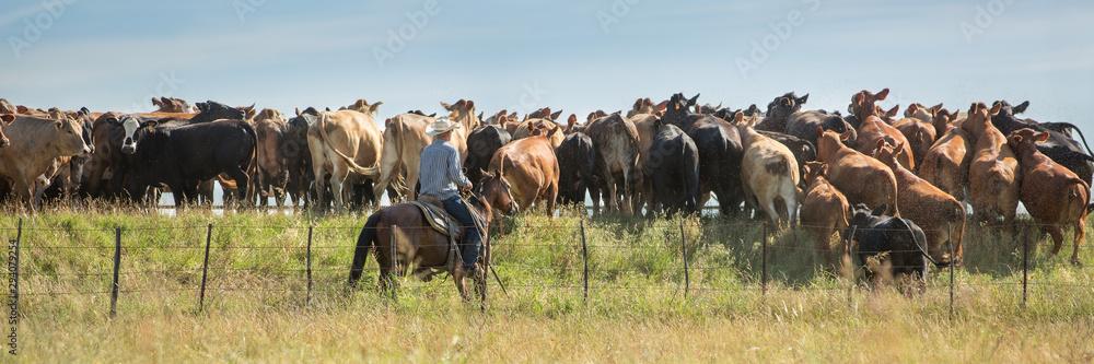 Fototapeta Cowboy rounding up cattle