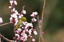 Sucking Nectar From Plum Tree,  Japanese White-eye 梅の蜜を吸うメジロ
