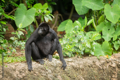 Siamang gibbon in the forest Canvas Print