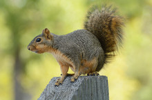 Fox Squirrel Or Sciurus Niger Perched On Wooden Post Against Background Of Yellowing Autumn Leaves