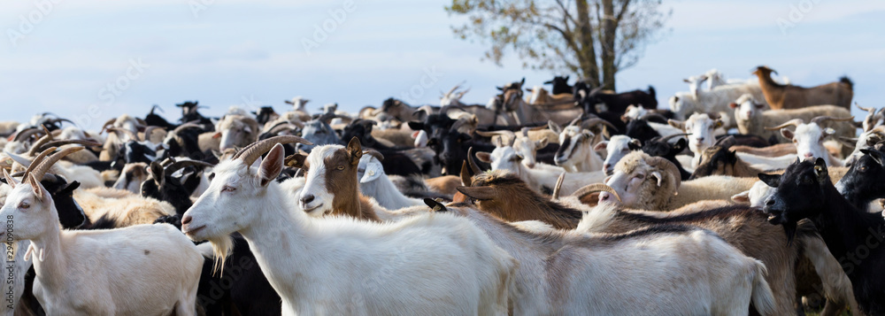 Fototapeta A herd of goats and sheep. Animals graze in the meadow. Pastures of Europe.