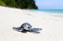 Little Turtle On White Beach