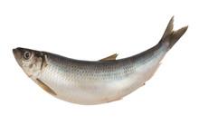 Herring Fish Isolated On White...