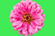 Leinwandbild Motiv Full blooming Zinnia flowers with green background
