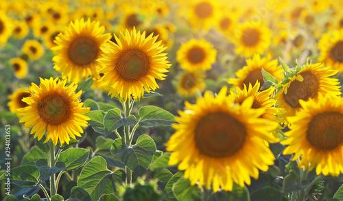 Foto auf AluDibond Gelb Sunflower portrait.