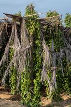 Pepper Plantation In Kampot Province, Cambodia