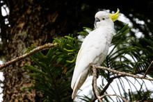Close Up Of Cockatoo Perched I...