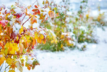 Autumn Background. Shrub With ...