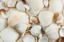 Background Of Small Shells Beige Shades On A White Background.