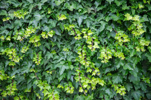 Leaves Of Bright Green Ivy Vines Fill The Frame In A Fresh Natural Summer Background