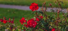 Cluster Red Rose Close Up