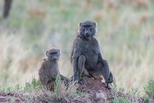 Two Baboons Sitting In The For...
