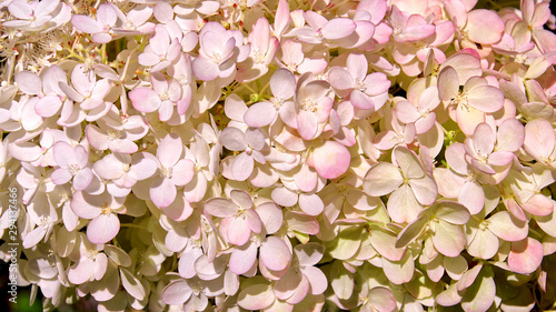 Fond de hotte en verre imprimé Hortensia Delicate white and pink Hydrangea (Hydrangea macrophylla) or Hortensia flowers. Tender romantic floral background.