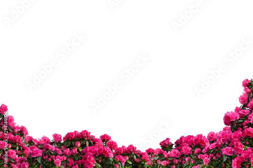 Pink potted azaleas (Azalea indica) isolated on white background. Bottom decoration, side view.