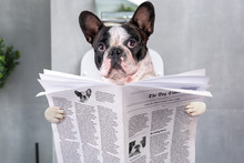 French Bulldog Sitting On A To...