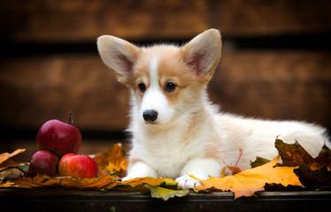 Welsh Corgi puppy in autumn