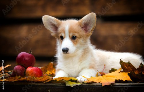 Foto auf AluDibond Natur Welsh Corgi puppy in autumn
