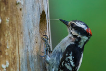 Downy Woodpecker (Dryobates Pubescens) At Nest