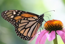 Monarch Butterfly Is Sitting O...