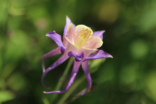 Purple Canada Columbine Flower...