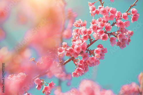 Photo sur Aluminium Arbre Soft pastel style with Pink Cherry blossom flower on blue mint color Background